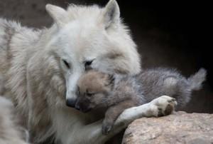 lupi-zoo-di-berlino-5-770x520[1]